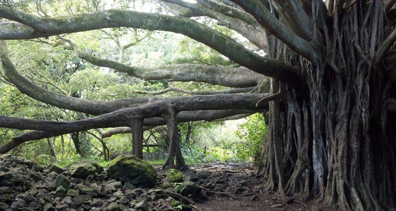 Baum Banyan Hawai