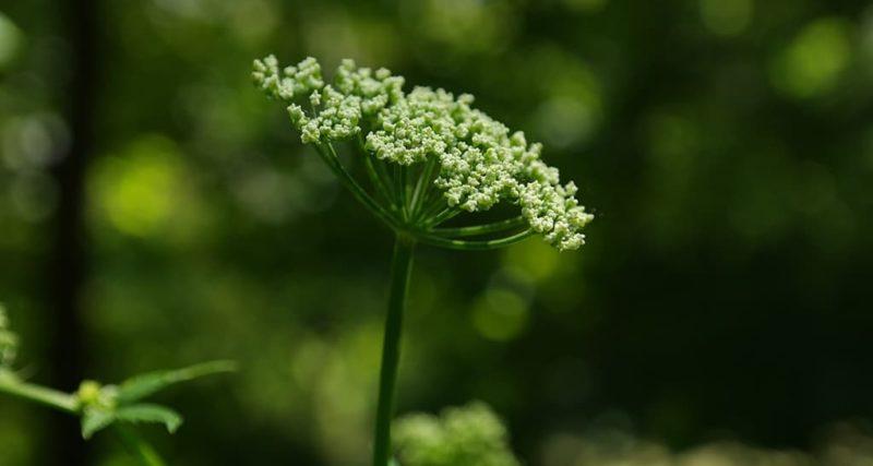 Giersch Blüte