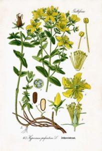 Zeichnung von Johanniskraut