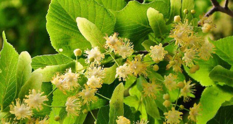 Die Lindenblüten