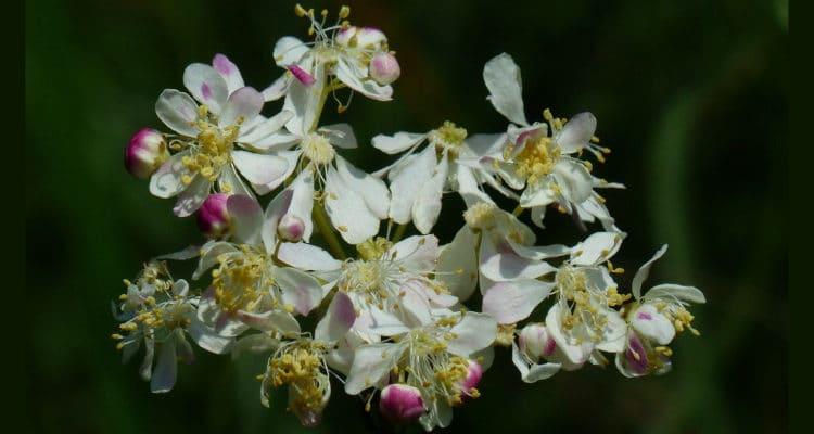 Mädesüß das Aspirin der Pflanzenwelt