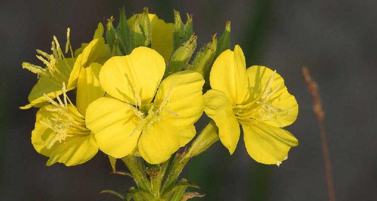 Die Nachtkerze - Blüten