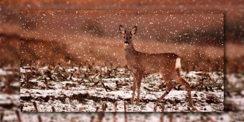 Zwölfte Rauhnacht - Reh im Schnee
