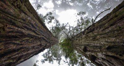 Yggdrasil - Esche - Weltenbaum