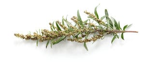 Heilpflanze Beifuss