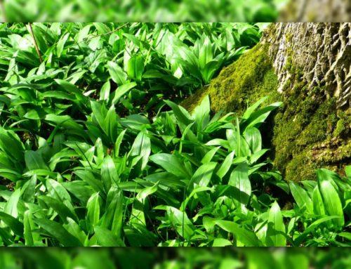 Bärlauch – Der Knoblauch des Waldes