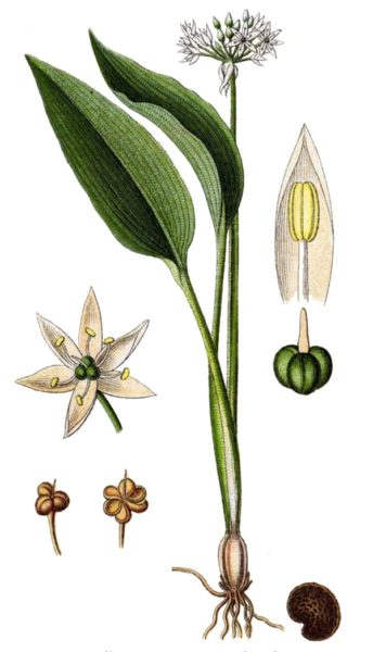 Detailansicht Bärlauch - Blatt, Blüte